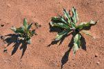 Thumbnail Canaigre, Ganagra, Wild Rhubarb, Arizona Dock or Tanner's dock (Rumex hymenosepalus) / Hanging Gardens, Page, Arizona, United States, North America