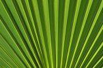 Thumbnail Palm frond (Arecaceae)