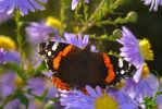 Thumbnail Red Admiral butterfly (Vanessa atalanta) on China Aster (Callistephus chinensis)