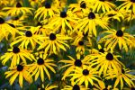 Thumbnail Orange Coneflower (Rudbeckiafulgida)