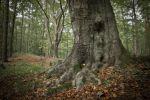 Thumbnail Old beech tree (Fagus), with roots showing above ground / Schlaubetal, Naturschutzgebiet Schlaubetal, Brandenburg, Germany, Europe