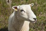 Thumbnail Domestic sheep in the salt marsh nature reserve, Hohwacht Bay, Behrensdorf, Schleswig-Holstein, Germany, Europe