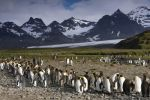 Thumbnail King Penguins (Aptenodytes patagonicus) in front of glaciers and a mountain scenery / bei Salisbury Plain, South Georgia and the South Sandwich Islands, Antarctica