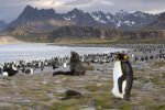 Thumbnail King Penguin (Aptenodytes patagonicus) and an Antarctic Fur Seal (Arctocephalus gazella) in a King Penguin colony / Salisbury Plain, South Georgia and the South Sandwich Islands, Antarctica