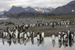 Thumbnail King Penguins (Aptenodytes patagonicus) reflected in water / Salisbury Plain, South Georgia and the South Sandwich Islands, Antarctica