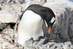 Thumbnail Gentoo Penguin (Pygoscelis papua), with newly hatched chick / Petermann-Insel, Antarctic Peninsula, Antarctica, Antarctica