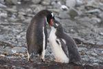 Thumbnail Gentoo Penguins (Pygoscelis papua), adult bird feeding chick / Barrientos Island, Aitcho Islands, Südliche Shetlandinseln, Antarctica, Antarctica