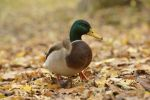 Thumbnail Mallard (Anas platyrhynchos) standing on autumn leaves / Leipzig, Saxony, Germany, Europe