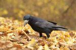 Thumbnail Rook (Corvus frugilegus) standing on autumn leaves / Leipzig, Saxony, Germany, Europe