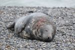 Thumbnail Grey Seal (Halichoerus grypus), male on the beach, with wounds from territorial fights / Helgoland Düne, Schleswig-Holstein, Germany, Europe