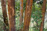 Thumbnail Eucalyptus trees, also gum trees (Eucalyptus), Uganda, Africa