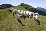 Thumbnail Flock of sheep in front of Cornet Mountain and Dos d'Abramo Mountain, Trentino, Italy, Europe /