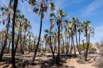 Thumbnail Palm trees on the banks of the Kunene River Kaokoland, Kunene Region, Namibia, Africa