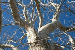Thumbnail Bare tree against a blue sky