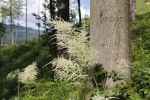 Thumbnail Goat's Beard or Bride's Feather (Aruncus dioicus), Styria, Austria, Europe