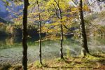 Thumbnail European Beeches (Fagus sylvatica) on lake Hinterer Langbathsee in autumn, Ebensee, Salzkammergut region, Upper Austria, Austria, Europe