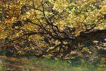 Thumbnail European Beech (Fagus sylvatica) on lake Hinterer Langbathsee in autumn, Ebensee, Salzkammergut region, Upper Austria, Austria, Europe