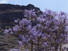 Thumbnail Jacaranda (Jacaranda mimosifolia), La Gomera, Canary Islands, Spain, Europe / La Gomera, Valle Gran Rey, Kanarische Inseln, Spain, Europe