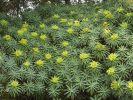 Thumbnail Tree Form Bush Spurge (Euphorbia lambii), endemic to La Gomera, La Gomera, Canary Islands, Spain, Europe / La Gomera, Agulo, Kanarische Inseln, Spain, Europe