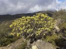 Thumbnail Flowering Berthelot Spurge (Euphorbia berthelotii), Fortaleza, La Gomera, Canary Islands, Spain, Europe / La Gomera, Vallehermoso, Kanaren, Spain, Europe