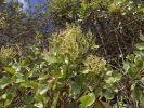 Thumbnail Canary Islands Sorrel (Rumex lunaria), La Gomera, Canary Islands, Spain, Europe / La Gomera, Hermigua, Kanarische Inseln, Spain, Europe
