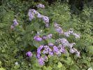 Thumbnail Flowering Steetz' Cinerarie (Pericallis steetzii) in green vegetation, endemic to La Gomera, La Gomera, Canary Islands, Spain, Europe / La Gomera, Hermigua, Kanarische Inseln, Spain, Europe