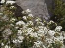 Thumbnail Eupatory, Sticky Snakeroot or Crofton Weed (Ageratina Adenophora), La Gomera, Canary Islands, Spain, Europe / La Gomera, Valle Gran Rey, Kanarische Inseln, Spain, Europe