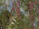 Thumbnail Peruvian Peppertree (Schinus molle) with fruits, La Gomera, Canary Islands, Spain, Europe / La Gomera, Valle Gran Rey, Kanarische Inseln, Spain, Europe