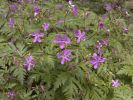 Thumbnail Canary Islands Geranium (Geranium canariense), endemic to the Canary Islands, La Gomera, Canary Islands, Spain, Europe / La Gomera, Valle Gran Rey, Kanarische Inseln, Spain, Europe