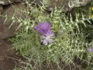 Thumbnail Purple Milk Thistle (Galactites tomentosa), La Gomera, Canary Islands, Spain, Europe / La Gomera, Valle Gran Rey, Kanarische Inseln, Spain, Europe