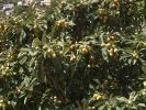 Thumbnail Loquat or Japanese Plum (Eriobotrya japonica) with fruit, La Gomera, Canary Islands, Spain, Europe / La Gomera, Valle Gran Rey, Kanarische Inseln, Spain, Europe