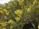 Thumbnail Teline or Canary Islands' Broom (Teline stenopetala ssp. pauciovulata), endemic to La Gomera, La Gomera, Canary Islands, Spain, Europe / La Gomera, Agulo, Kanarische Inseln, Spain, Europe