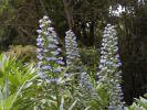 Thumbnail Blue Bugloss or Blueweed (Echium acanthocarpum), endemic to La Gomera, La Gomera, Canary Islands, Spain, Europe / La Gomera, Agulo, Kanarische Inseln, Spain, Europe