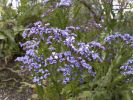 Thumbnail Limonium or Sea-lavender (Limonium brassicifolium), endemic to the Canary Islands, La Gomera, Canary Islands, Spain, Europe / La Gomera, Agulo, Kanarische Inseln, Spain, Europe