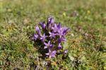 Thumbnail Chiltern gentian (Gentianella germanica) / Postalm, Salzkammergut, Salzburg State, Austria, Europe