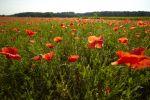 Thumbnail Blooming poppy field near Wangen, Starnberg, Upper Bavaria, Bavaria, Germany, Europe