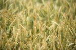 Thumbnail Semi-mature barley field (Hordeum vulgare), Baden-Wuerttemberg, Germany, Europe