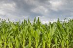 Thumbnail Young corn in a field (Zea mays subsp. mays) under cloudy skies, Baden-Wuerttemberg, Germany, Europe