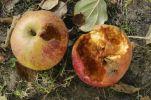 Thumbnail Half-eaten apples /