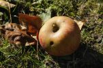 Thumbnail Maggot-ridden apple, windfall /