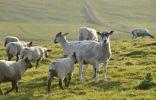 Thumbnail Sheep on a pasture near the Stacks of Duncansby, north coast of Scotland, John o'Groats, Freswick, Dunnet, Caithness, Scotland, United Kingdom, Europe