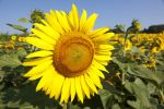 Thumbnail Field of Sunflowers (Helianthus annuus)