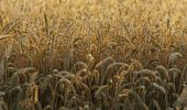 Thumbnail Field of ripe wheat, evening light, sunset