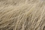 Thumbnail Marram grass in winter /
