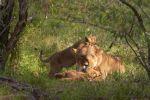 Thumbnail Lioness (Panthera leo) with cubs lying under a bush, Masai Mara, Kenya, Africa