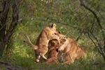 Thumbnail Lioness (Panthera leo) with cubs lying under a bush, Masai Mara, Kenya, Africa