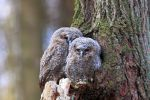 Thumbnail Young Tawny Owls or Brown Owls (Strix aluco) perched in front of a tree hollow /