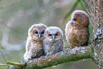 Thumbnail Three young Tawny Owls or Brown Owls (Strix aluco) perched on a tree /
