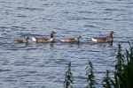 Thumbnail Greylag geese (Anser anser), family of geese, Aussenalster or Outer Alster Lake, Hamburg, Germany, Europe