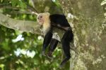 Thumbnail White-headed or White-faced capuchin (Cebus capucinus), asleep on a branch, Manuel Antonio National Park, Central Pacific Coast, Costa Rica, South America